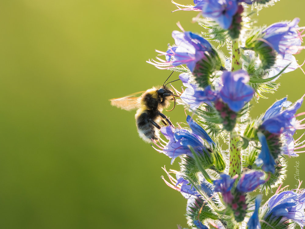 Bumble bee nectaring on Viper's-bugloss flowers
