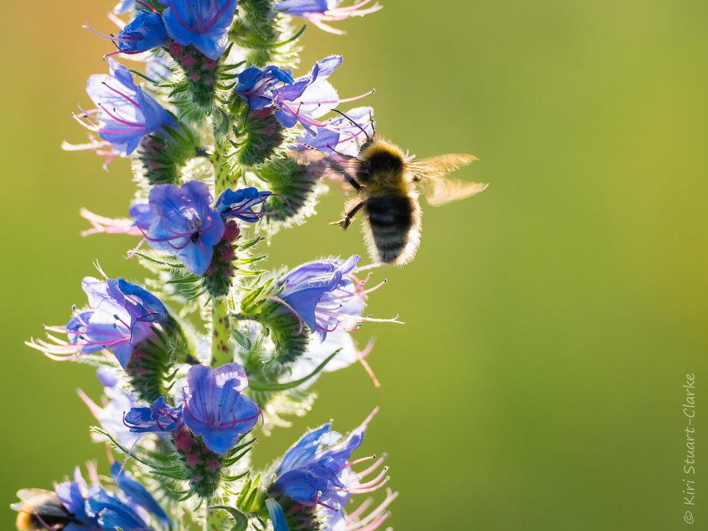 Names for Echium Vulgare  - BluebottleBlue devilBlue thistleBlueweedBuglossCat's tailIronweedPatterson's curse (Australian)Our Saviour's FlannelSnake flowerViper's-buglossViper's grassViper's herb