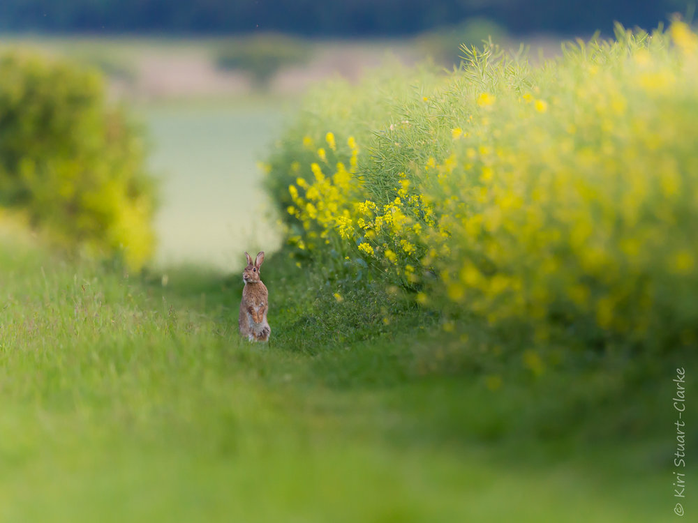 A young brown hare or leveret rears up on its hind legs, alert to approaching danger. The Ridgeway National Trail, South Oxfordshire