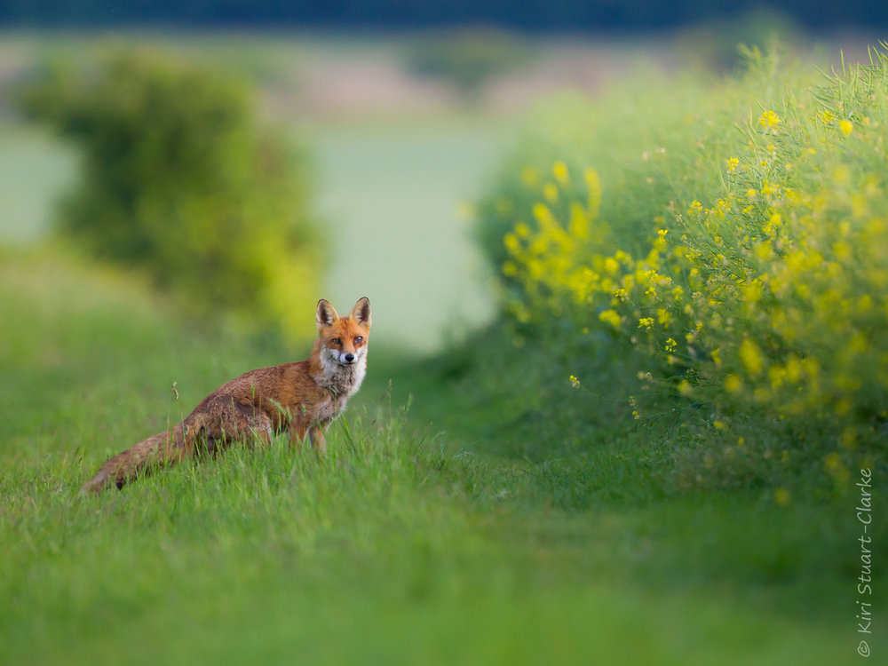 "A large ""dog"" or male red fox crossing a field margin in search of prey on a hunting trip. The Ridgeway National Trail, South Oxfordshire"
