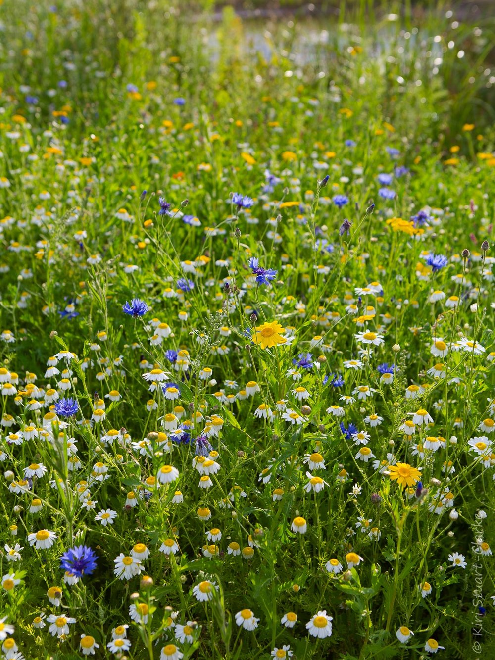 Nar Cottage wildflower meadow with cornfield annuals - July 2014
