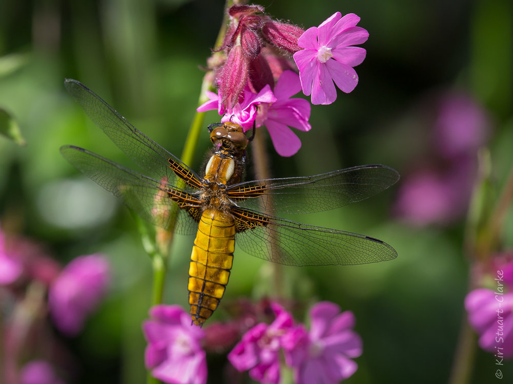 A golden yellow female Broad-bodied Chaser dragonly perched on red campion flowers