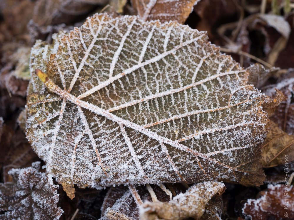 Frost covered leaf litter