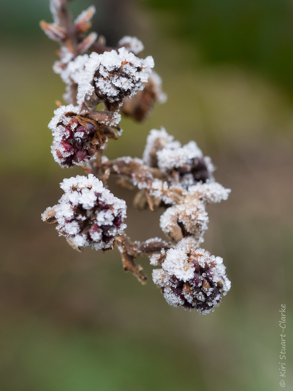 Frost crystals on a cluster of blackberries