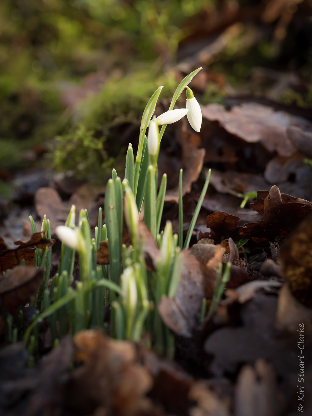 Snowdrops nestled amongst leaves