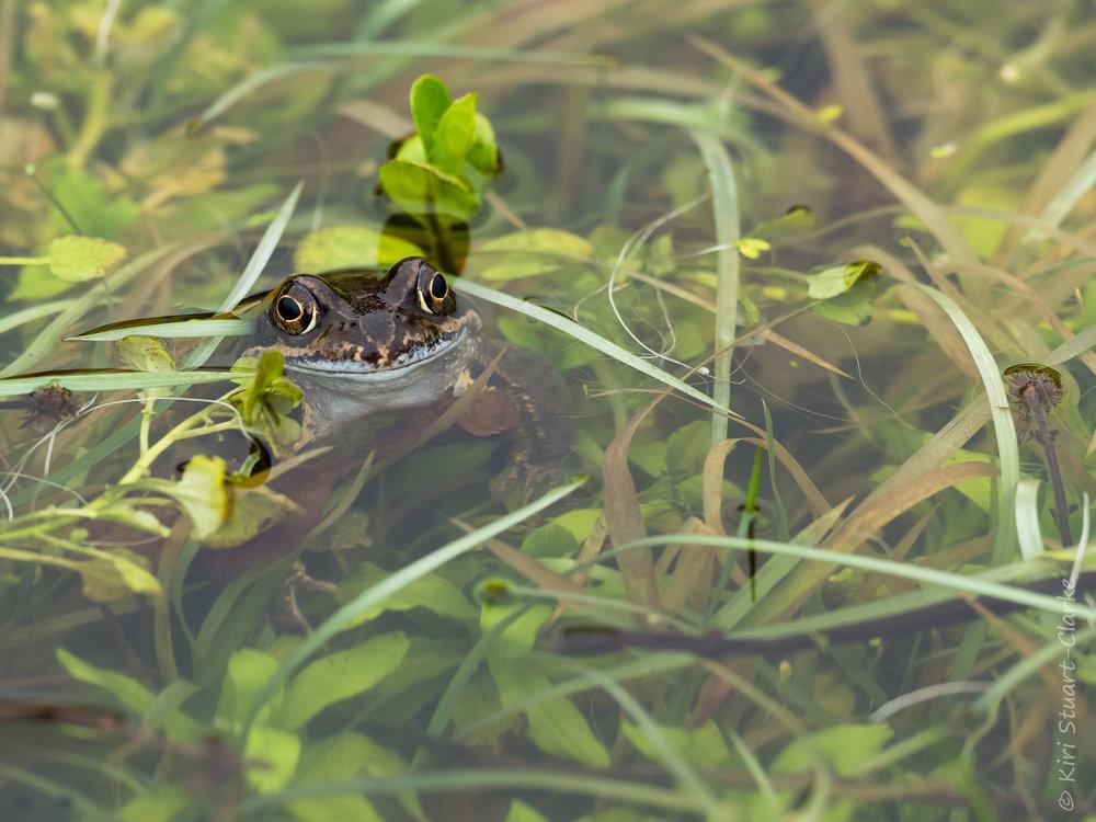 Frog nestled in pondweed in a wildlife pond