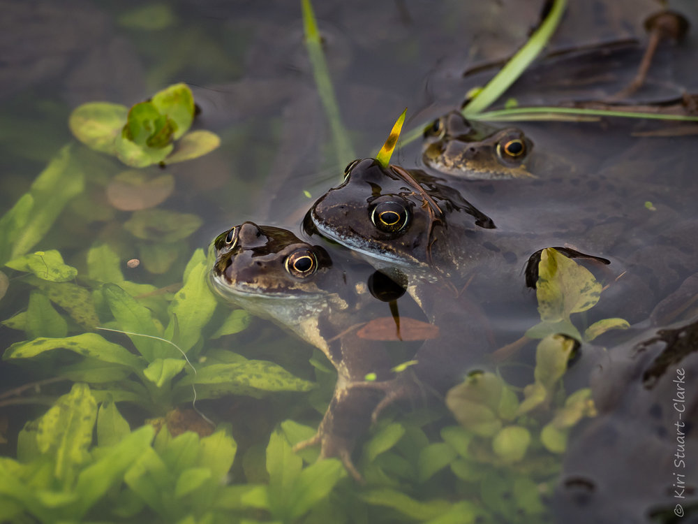 Three in a bed.... male frogs swarming aorund a female.