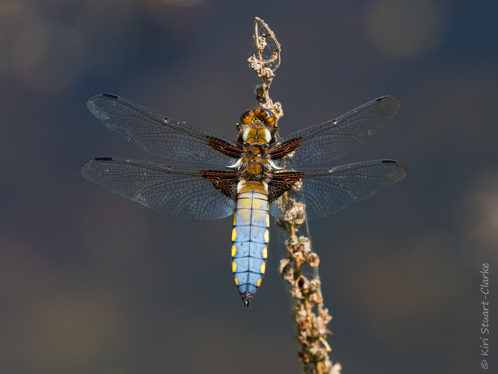 Male Broad-bodied Chaser dragonfly basking