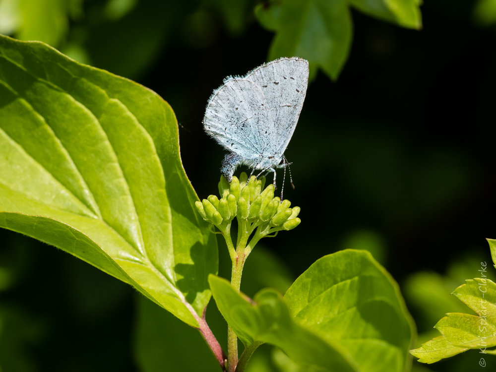 A female Holly Blue butterfly busily ovipositon amongst native hedging