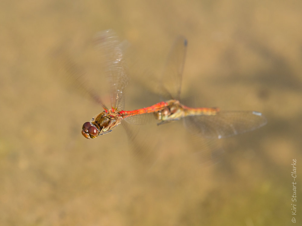 A pair of mating Common Darter dragonflies mid-flight over my sparsely vegetated new pond, September 2014