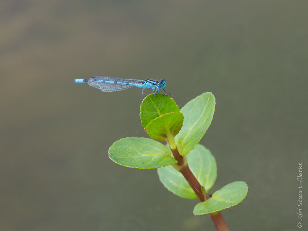 Common Blue damselfly perched on Brooklime, August 2014