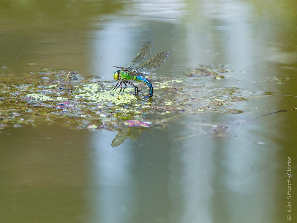 The vivid green and blue of the Emporer dragonfly