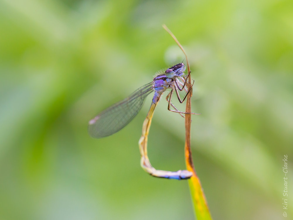 The vivid female  violacea  form of the Blue-tailed damselfly