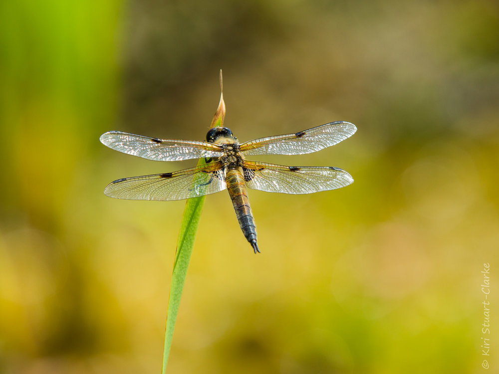 Four-spotted Chaser dragonfly,  Libella quadrimaculata,  July 2016