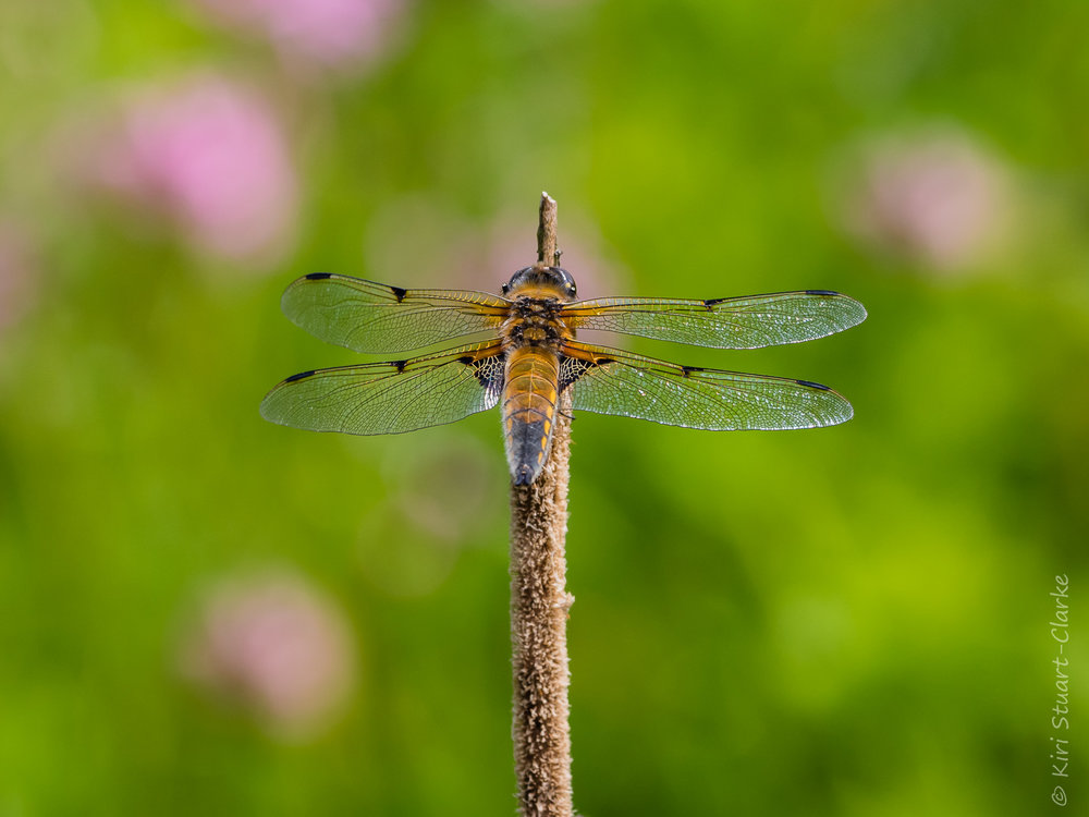 Four-spotted Chaser dragonfly showing its distinctive markings, 2018