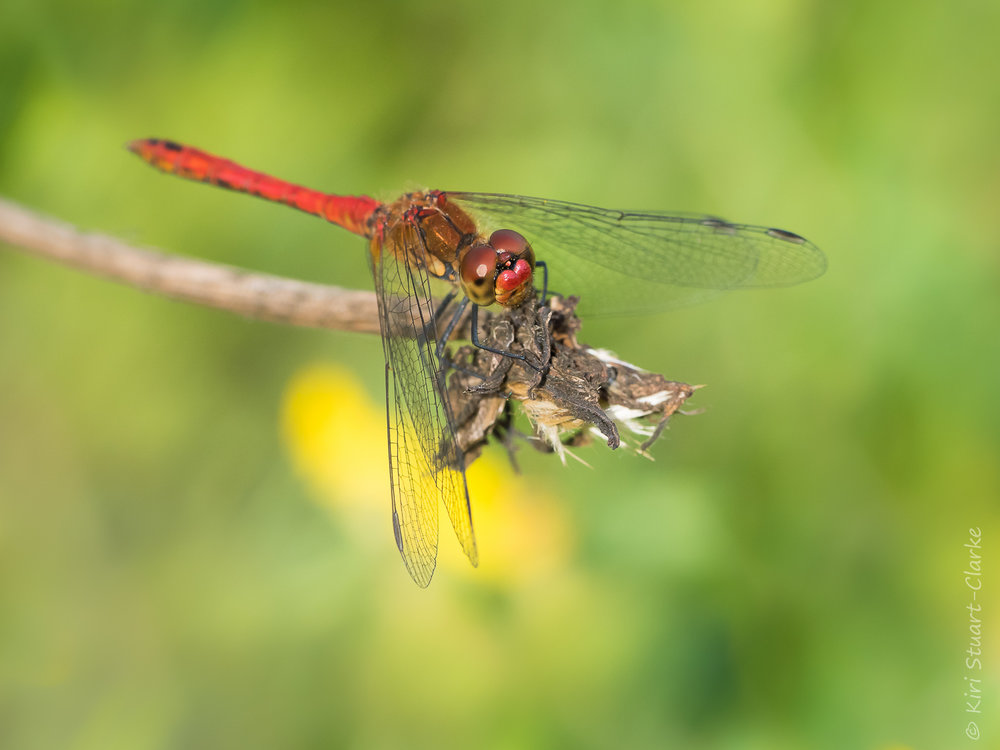Ruddy Darter, Sympetrum sanguineum, on a pondside perch