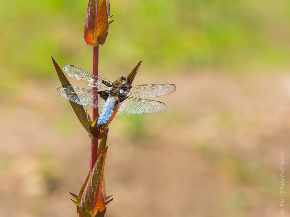 My first ever sighting of a Broad-bodied Chaser,  Libella depressa,  in my very own back garden, thanks to my new wildlife pond in June 2014