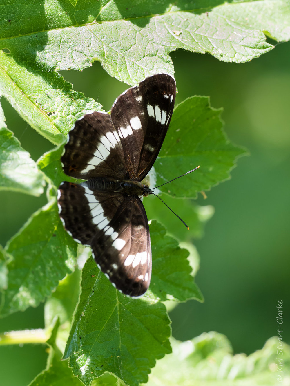 White Admirals look similar to Purple Emperors but are smaller, lack the orange markings and purple iridescence