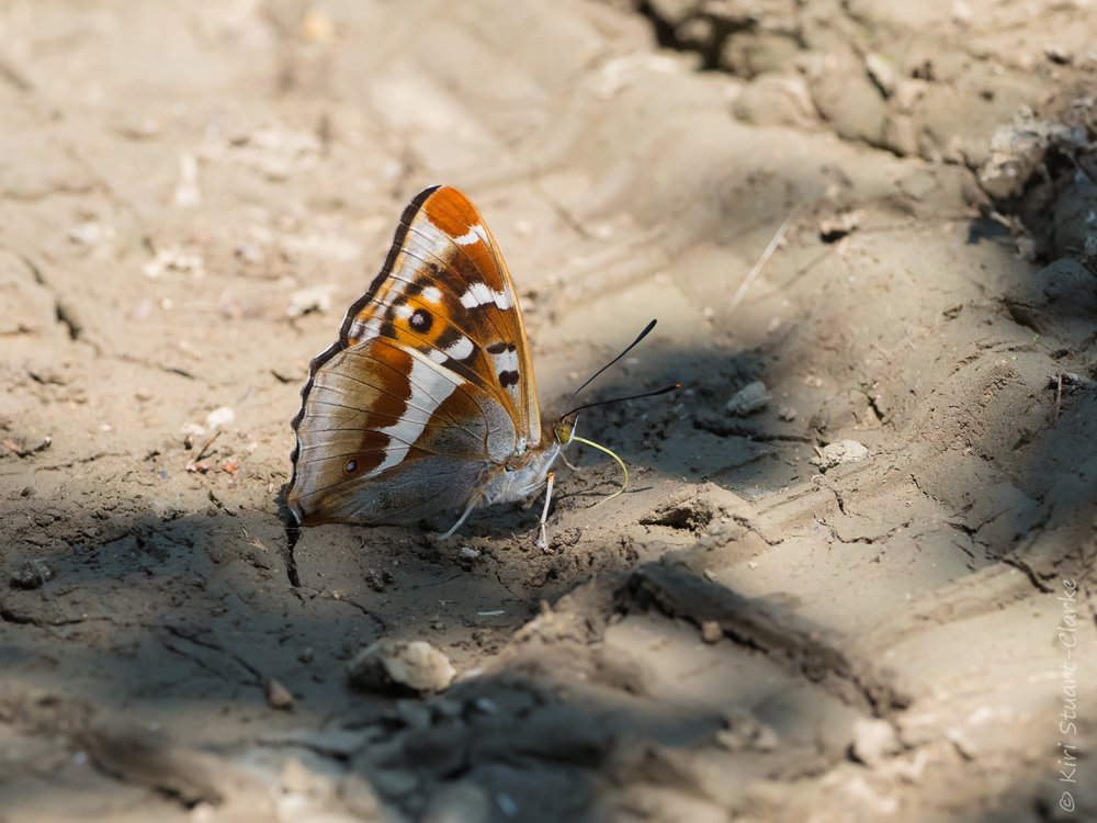 "Purple Emperors also take in trace salts from the ground, animal droppings and other pungent substances, a behaviour known as ""mud-puddling"""