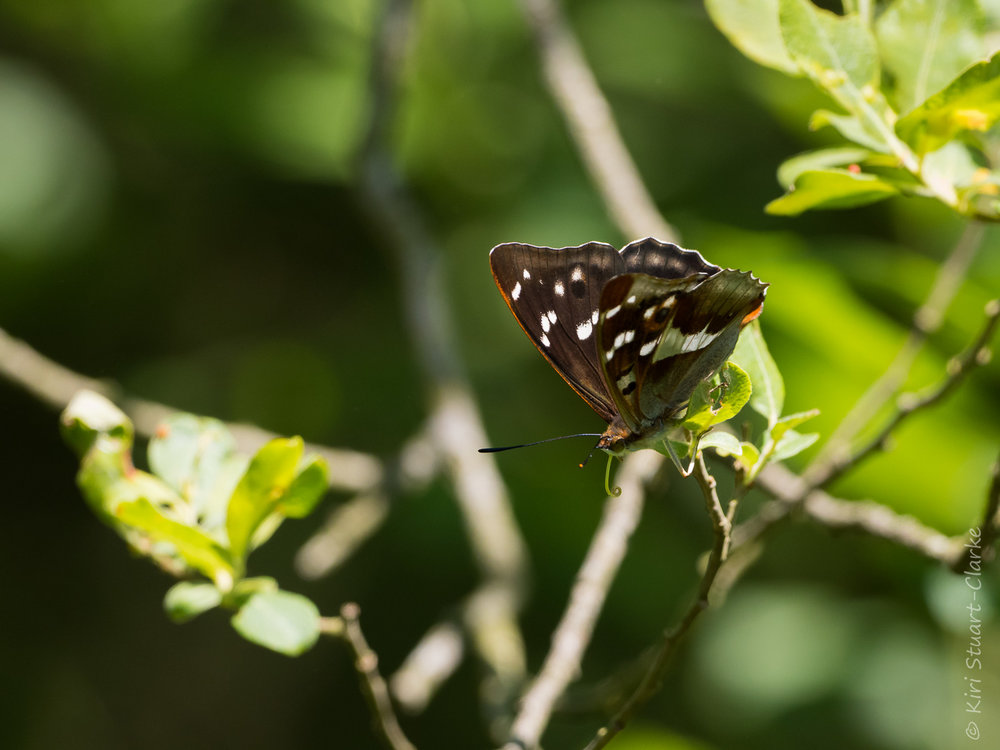 Female Purple Emperor, lacking the purple iridescence, perched on a Sallow branch feeding on aphid honeydew