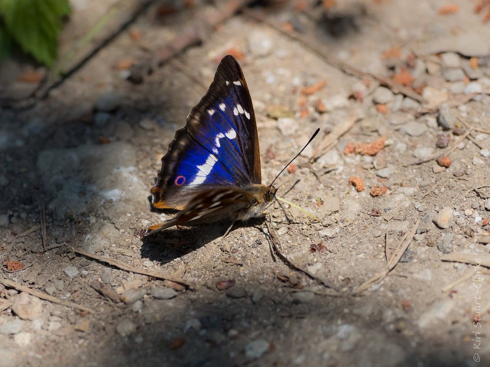 The Purple Emperor's iridescence is only visible at certain angles to the sun's rays