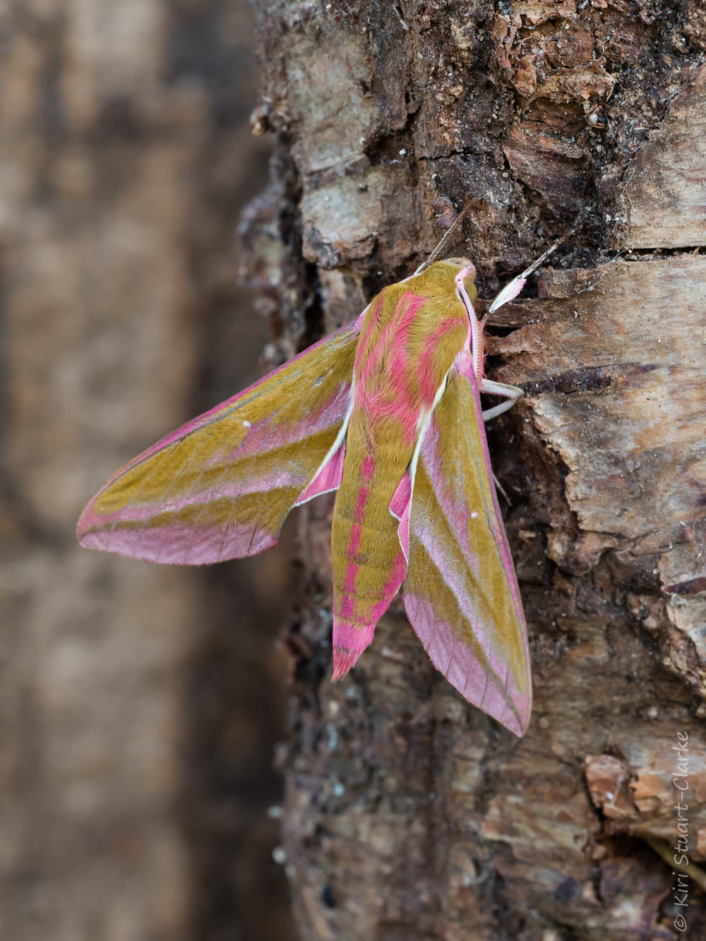Pink: One of a dozen Elephant Hawkmoths,  Deilephila elpenor,  attracted to my twin actinic skinner moth trap