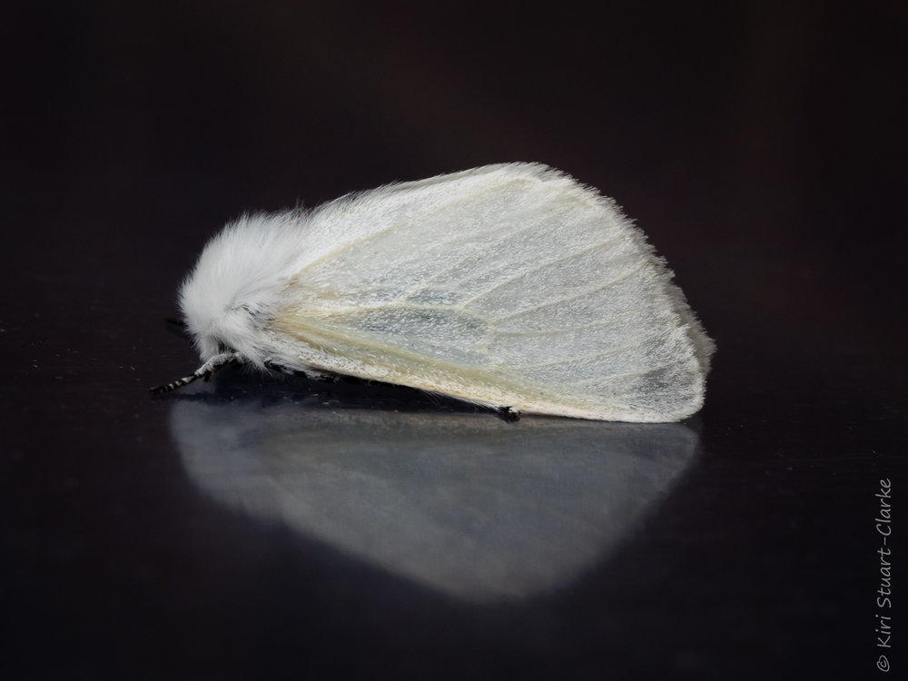 A White Satin moth,  Leucoma salicis,  perched on the reflective moth trap lid