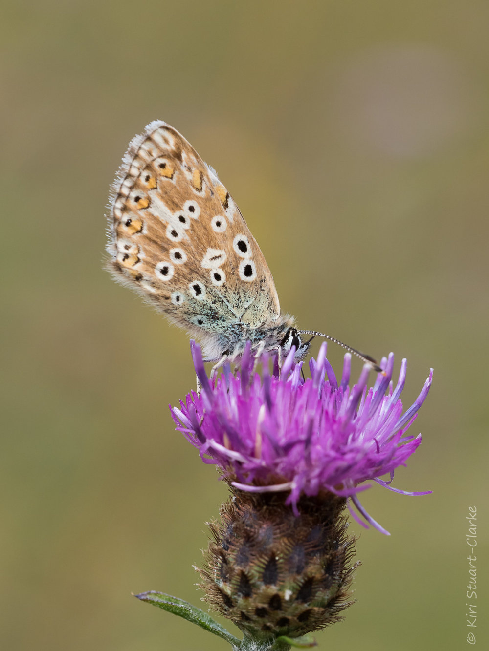 Chakhill Blue butterflies had a good summer in Norfolk despite the drought
