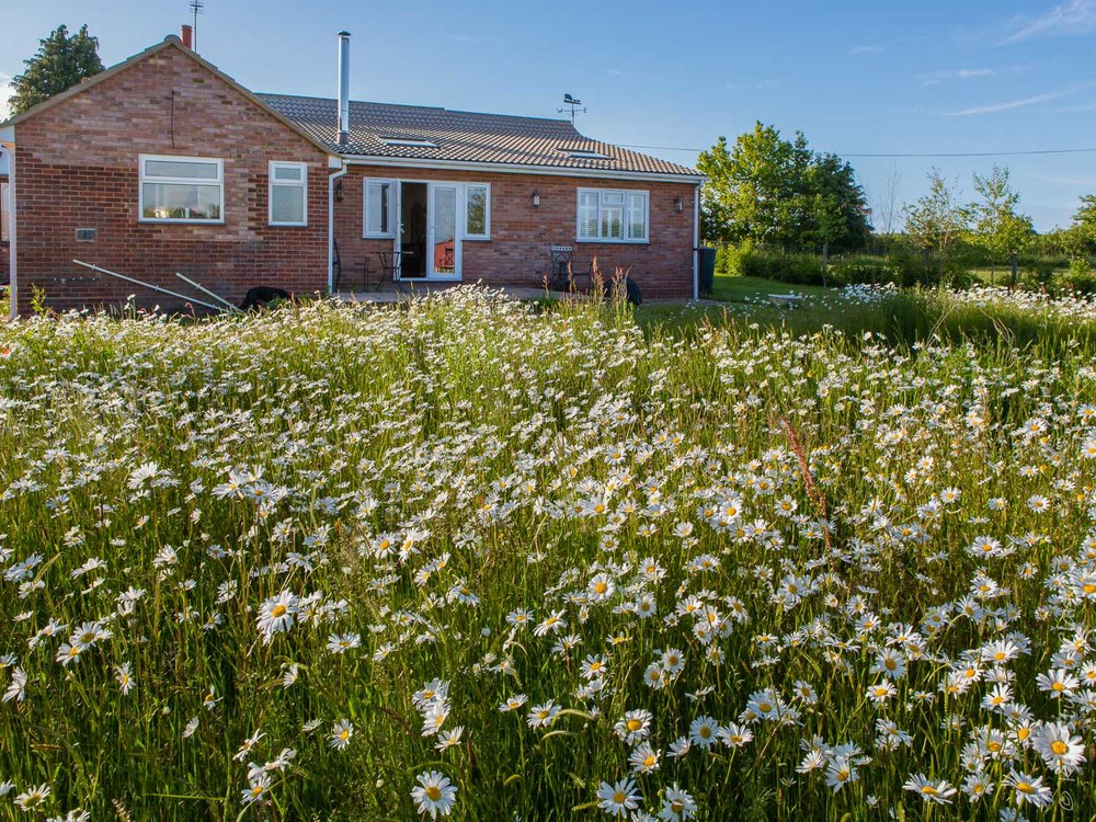 Nar Cottage wildflower meadow in June 2015 - A mass of white Ox-eye daisies but few other flowers - a relatively undiverse habitat