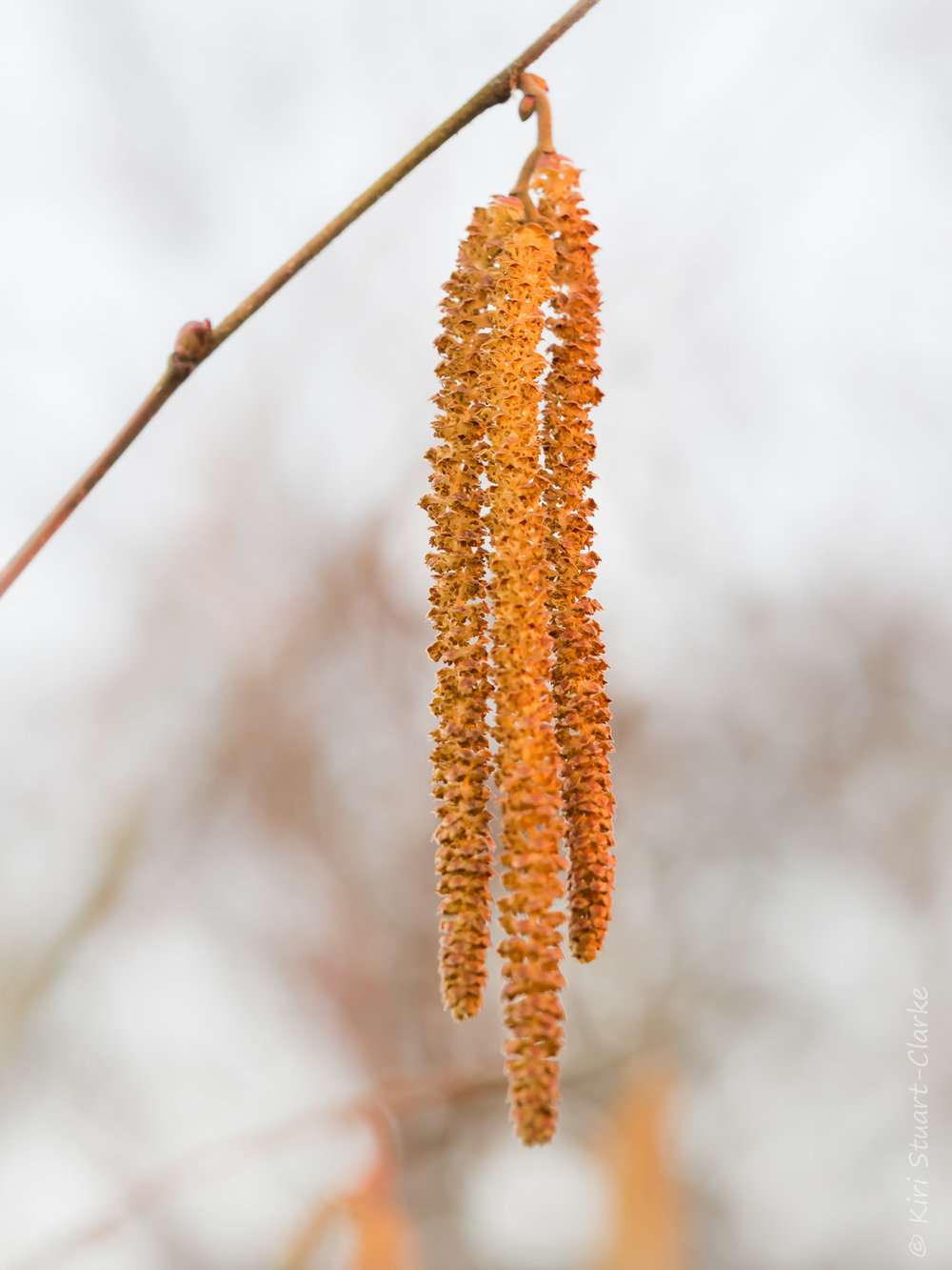 Male Birch tree,  betual penduula , catkins