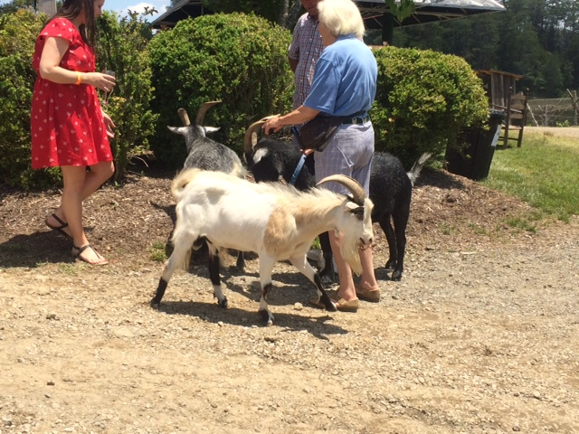 Goats walking around intermingling with other Vineyard guests