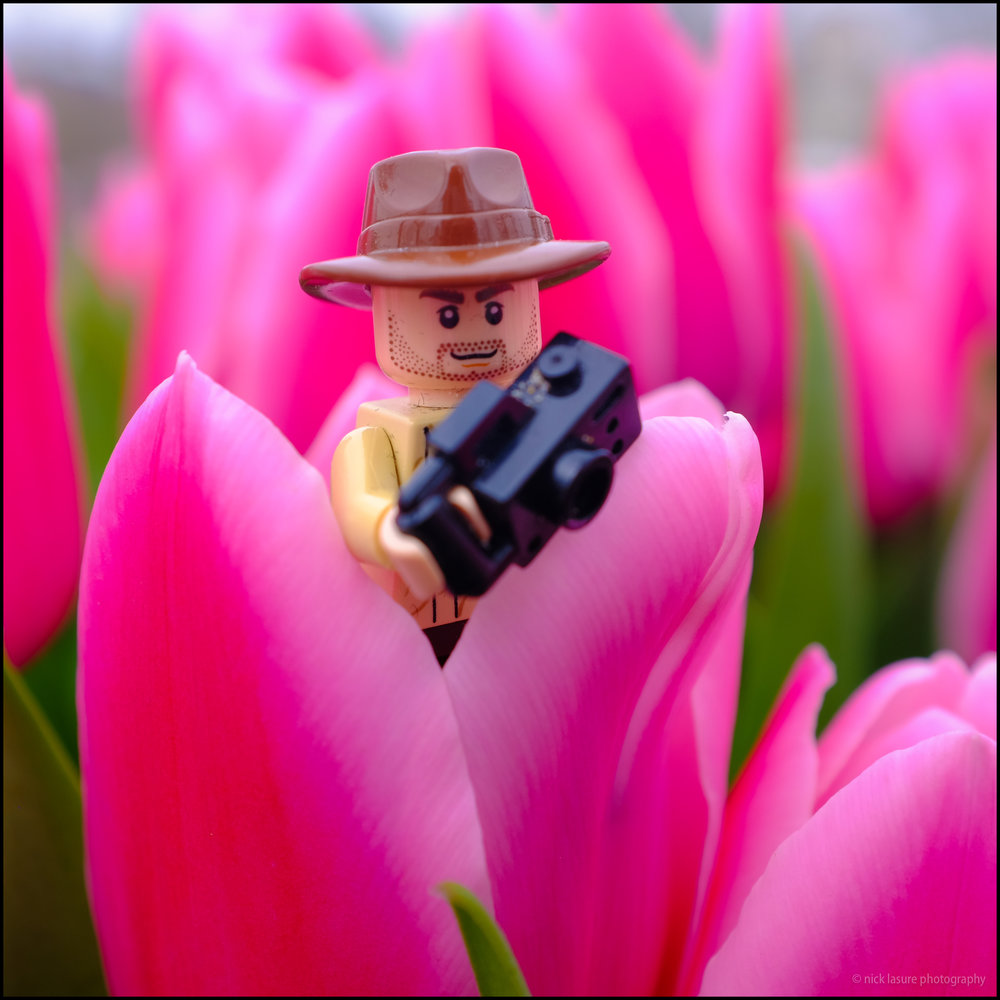 Photo Lego Dude  checking out the tulips.