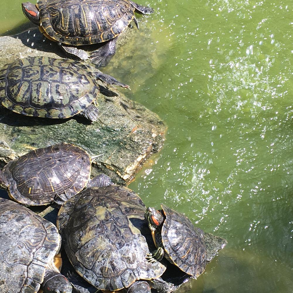 Sunning Turtles.jpg