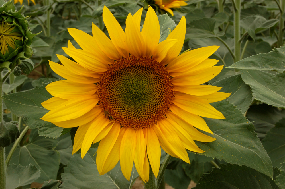 Sunflower Leaves Background.jpg
