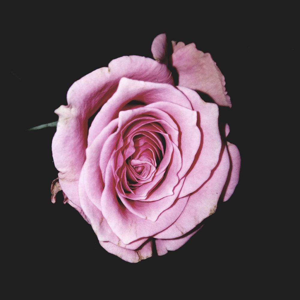 alba%3arose for vase.jpg