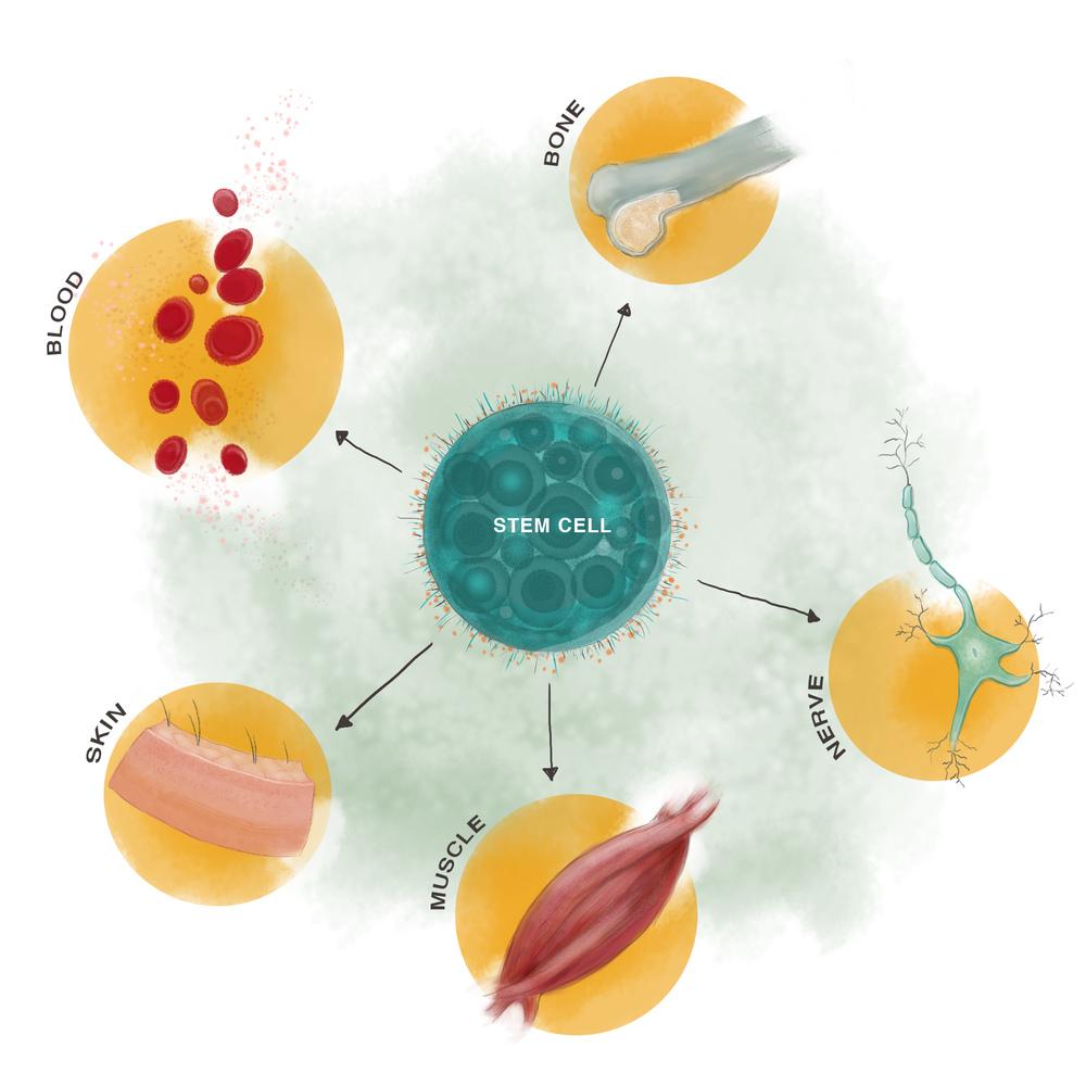 Gelman_Stem Cell.jpg