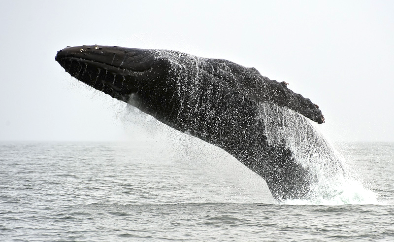 Humpback Whale Takes Flight