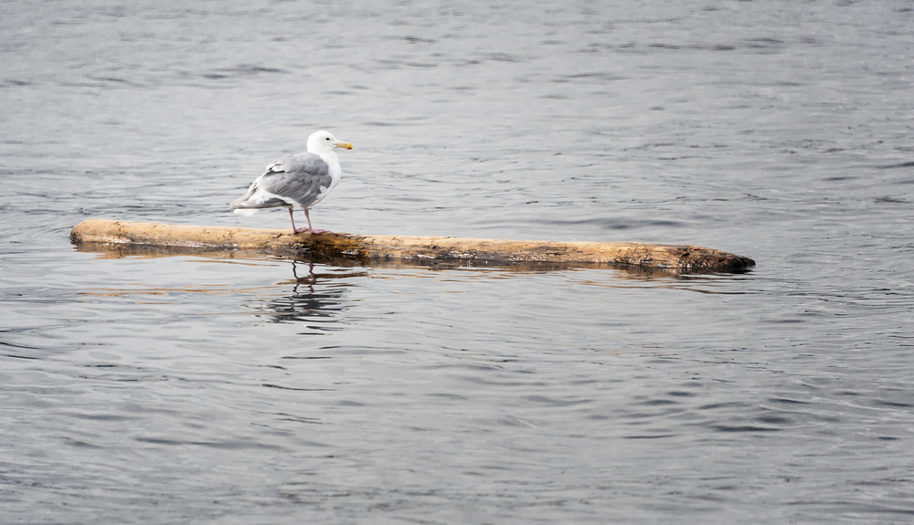 No one likes sea gulls except when they mark the log in the water