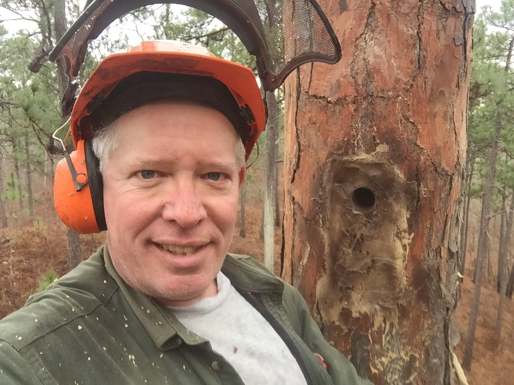 Installing a Red-cockaded Woodpecker cavity 22 feet up a longleaf pine, Coosa County, Alabama
