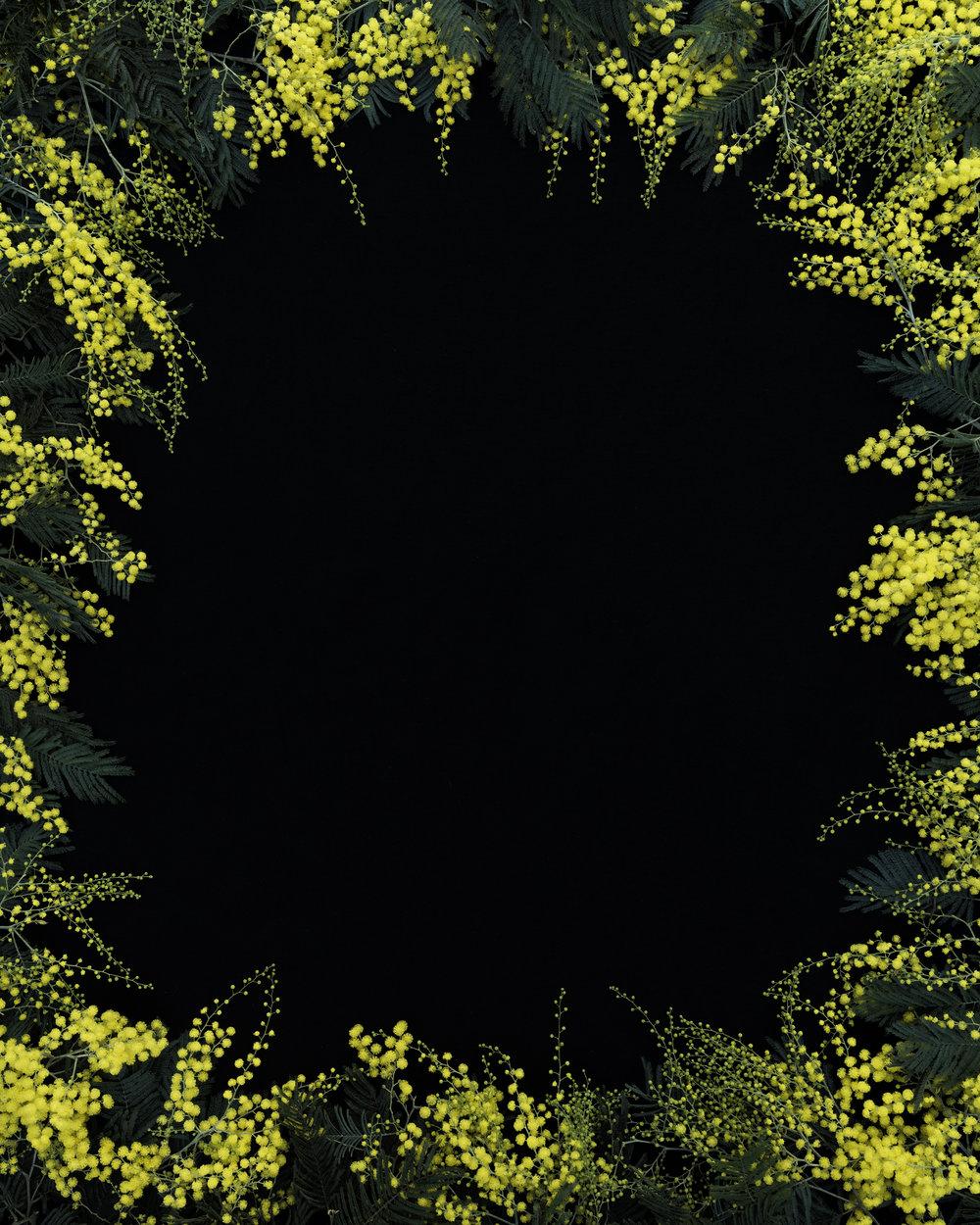J, John Priola,  Acacia Flowers , 2018