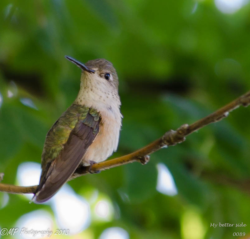hummingbird crossing-0089.jpg