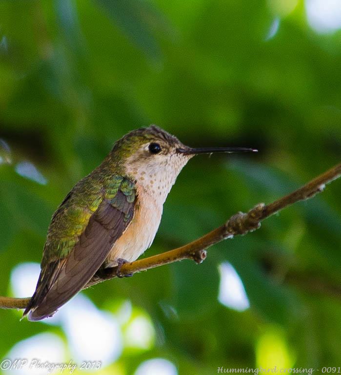 hummingbird crossing-0091.jpg