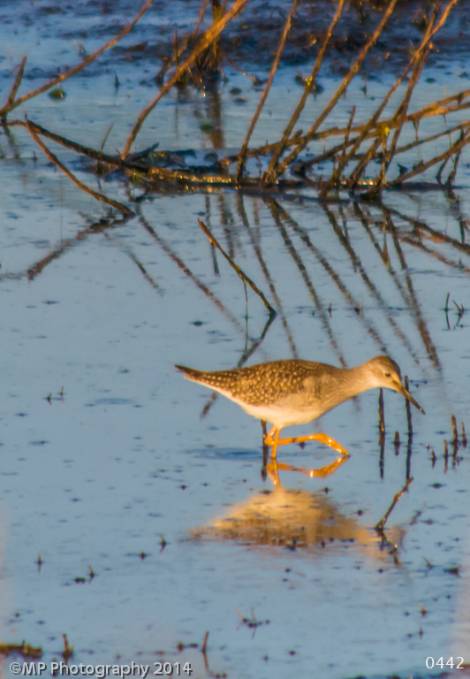 Greater Yellow Legged ShoreBird