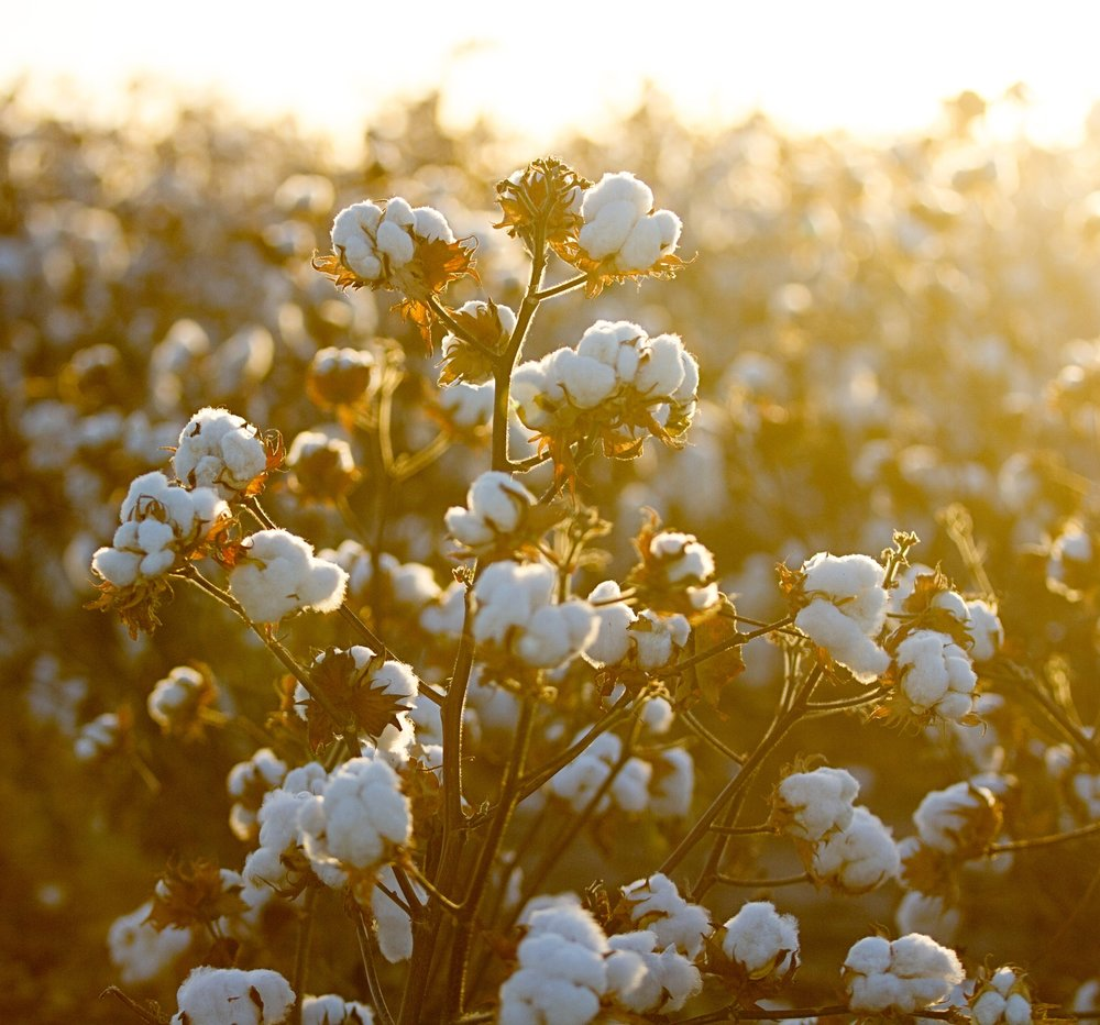 Whatley-Farms-Cotton-2016.jpg