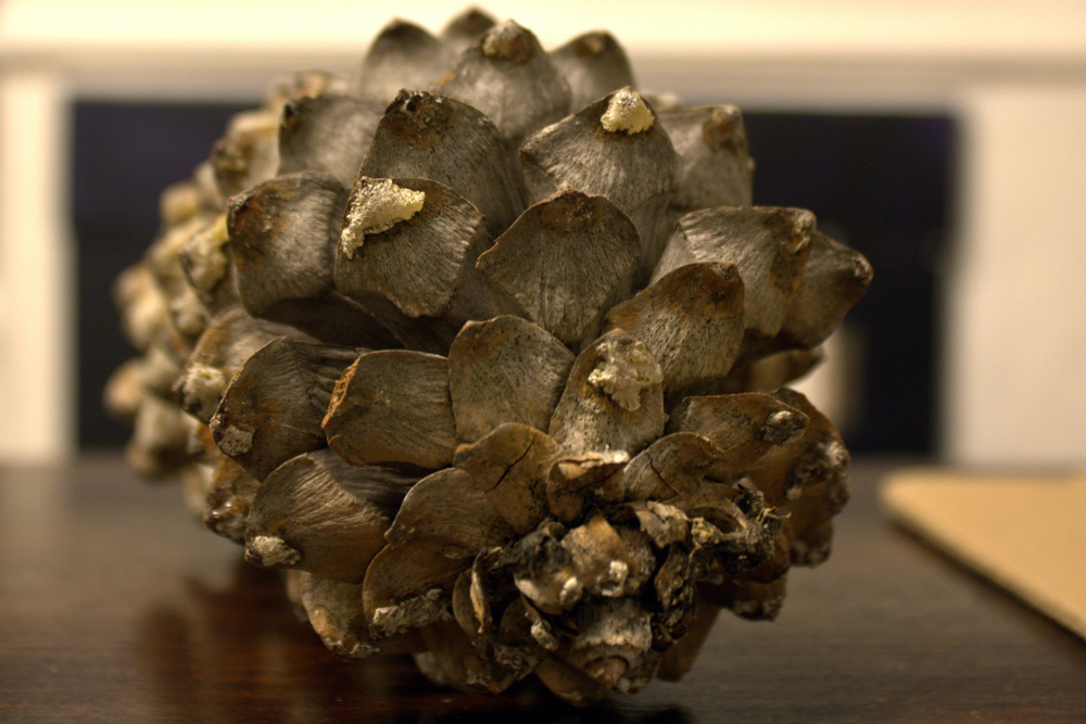 Pinecone from a recent walk in Wallingford.