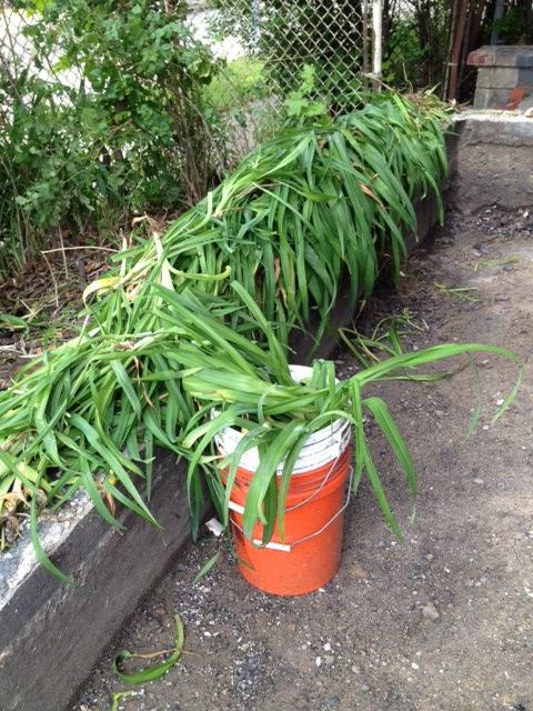 Daylily harvesting!