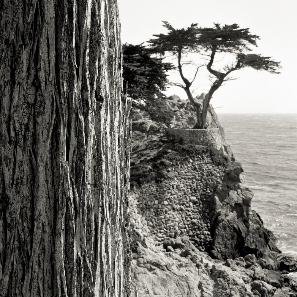 Lone_Cypress.JPG