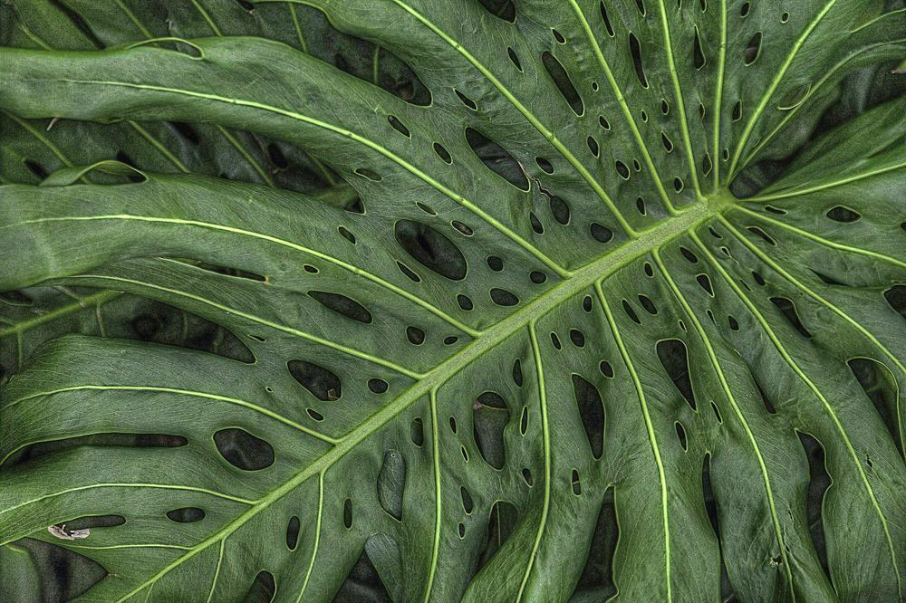 Split Leaf