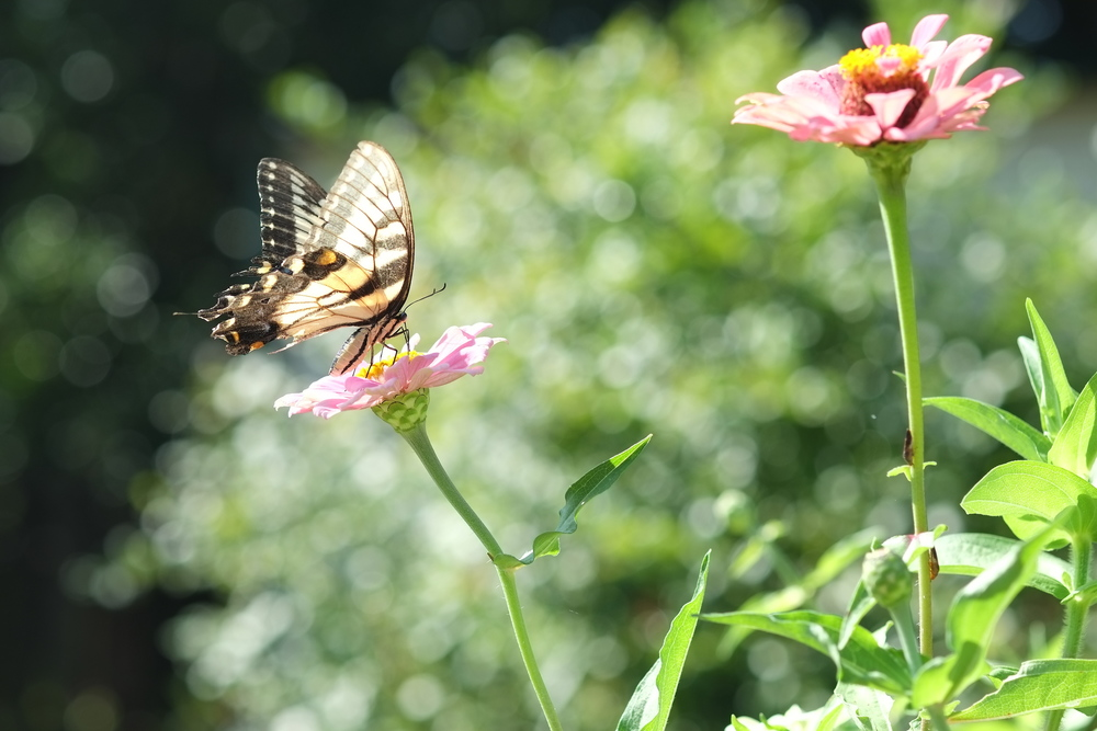 butterfly landing on an organic zinnia in the square foot garden