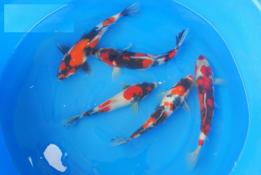 Example of Elite Koi